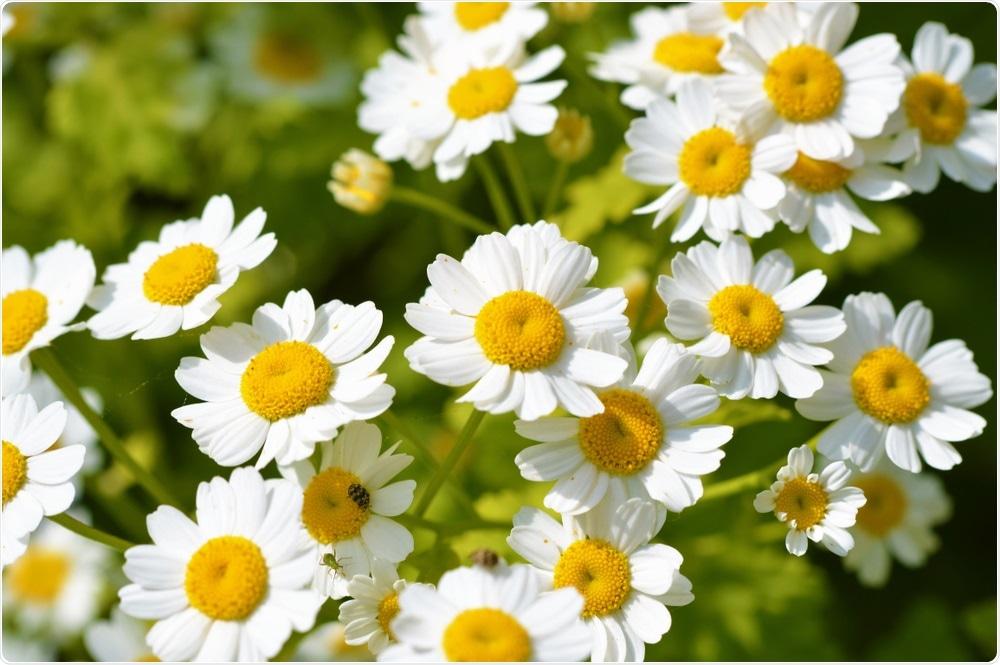 Новое лечение лейкемии разработано из общего дикого цветка